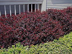 Crimson Ruby Barberry (Berberis thunbergii 'Criruzam') at Oakland Nurseries Inc