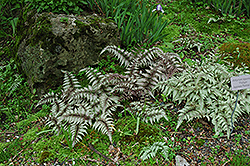 Japanese Painted Fern (Athyrium nipponicum 'Pictum') at Oakland Nurseries Inc
