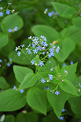 Siberian Bugloss (Brunnera macrophylla) at Oakland Nurseries Inc
