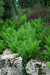Ostrich Fern (Matteuccia struthiopteris) at Oakland Nurseries Inc