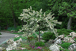Tina Flowering Crab (Malus sargentii 'Tina') at Oakland Nurseries Inc