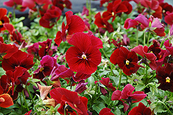 Penny Red Pansy (Viola cornuta 'Penny Red') at Oakland Nurseries Inc