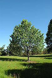 Shamrock Linden (Tilia cordata 'Shamrock') at Oakland Nurseries Inc