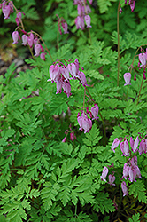 Bleeding Heart (Dicentra eximia) at Oakland Nurseries Inc