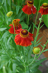 Moerheim Beauty Sneezeweed (Helenium 'Moerheim Beauty') at Oakland Nurseries Inc