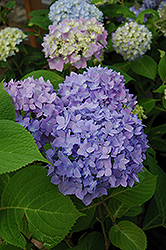 Endless Summer® Hydrangea (Hydrangea macrophylla 'Endless Summer') at Oakland Nurseries Inc