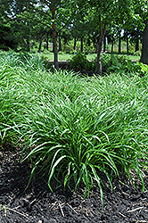 Moor Grass (Molinia caerulea) at Oakland Nurseries Inc