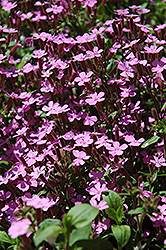 Rock Soapwort (Saponaria ocymoides) at Oakland Nurseries Inc