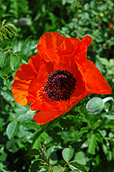 Allegro Poppy (Papaver orientale 'Allegro') at Oakland Nurseries Inc