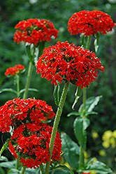 Maltese Cross (Lychnis chalcedonica) at Oakland Nurseries Inc