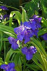 Sweet Kate Spiderwort (Tradescantia x andersoniana 'Sweet Kate') at Oakland Nurseries Inc
