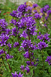 Clustered Bellflower (Campanula glomerata) at Oakland Nurseries Inc