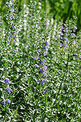 Hyssop (Hyssopus officinalis) at Oakland Nurseries Inc