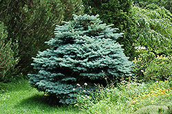 Globe Blue Spruce (Picea pungens 'Globosa') at Oakland Nurseries Inc