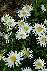Angel Shasta Daisy (Leucanthemum x superbum 'Angel') at Oakland Nurseries Inc