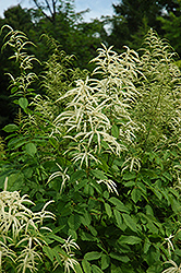 Goatsbeard (Aruncus dioicus) at Oakland Nurseries Inc