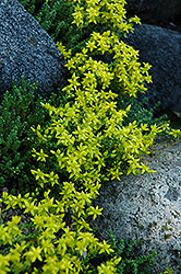 Six Row Stonecrop (Sedum sexangulare) at Oakland Nurseries Inc