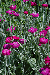 Rose Campion (Lychnis coronaria) at Oakland Nurseries Inc