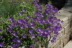 Blue Clips Bellflower (Campanula carpatica 'Blue Clips') at Oakland Nurseries Inc