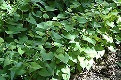 Chameleon Plant (Houttuynia cordata) at Oakland Nurseries Inc
