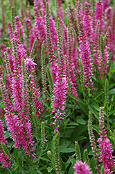 Red Fox Speedwell (Veronica spicata 'Red Fox') at Oakland Nurseries Inc