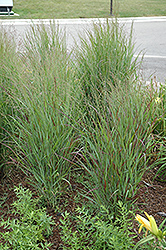 Shenandoah Reed Switch Grass (Panicum virgatum 'Shenandoah') at Oakland Nurseries Inc