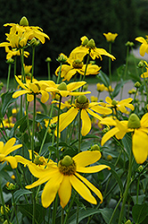 Autumn Sun Coneflower (Rudbeckia 'Autumn Sun') at Oakland Nurseries Inc
