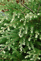 Moon Frost Hemlock (Tsuga canadensis 'Moon Frost') at Oakland Nurseries Inc