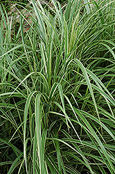 Variegated Silver Grass (Miscanthus sinensis 'Variegatus') at Oakland Nurseries Inc