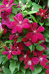 Rouge Cardinal Clematis (Clematis 'Rouge Cardinal') at Oakland Nurseries Inc