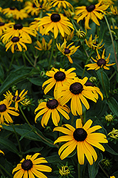 Indian Summer Coneflower (Rudbeckia hirta 'Indian Summer') at Oakland Nurseries Inc