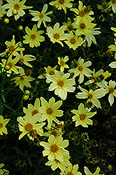 Creme Brulee Tickseed (Coreopsis 'Creme Brulee') at Oakland Nurseries Inc