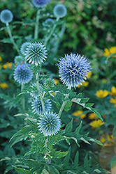 Globe Thistle (Echinops ritro) at Oakland Nurseries Inc