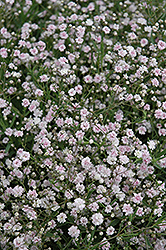 Pink Fairy Baby's Breath (Gypsophila paniculata 'Pink Fairy') at Oakland Nurseries Inc