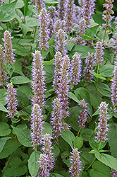 Blue Fortune Anise Hyssop (Agastache 'Blue Fortune') at Oakland Nurseries Inc