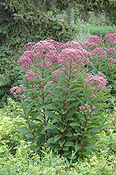 Joe Pye Weed (Eupatorium maculatum) at Oakland Nurseries Inc