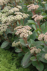 Matrona Stonecrop (Sedum 'Matrona') at Oakland Nurseries Inc