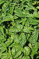 Sweet Basil (Ocimum basilicum) at Oakland Nurseries Inc