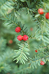 Japanese Yew (Taxus cuspidata) at Oakland Nurseries Inc