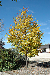 Harvest Gold Mongolian Linden (Tilia mongolica 'Harvest Gold') at Oakland Nurseries Inc