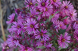 Woods Pink Aster (Aster 'Woods Pink') at Oakland Nurseries Inc
