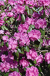 P.J.M. Rhododendron (Rhododendron 'P.J.M.') at Oakland Nurseries Inc