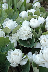 Bloodroot (Sanguinaria canadensis) at Oakland Nurseries Inc