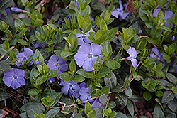 Bowles Periwinkle (Vinca minor 'Bowles') at Oakland Nurseries Inc