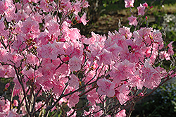 Cornell Pink Rhododendron (Rhododendron mucronulatum 'Cornell Pink') at Oakland Nurseries Inc