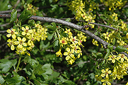 Golden Flowering Currant (Ribes aureum) at Oakland Nurseries Inc