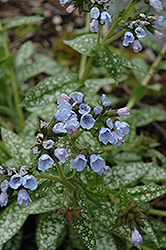 Roy Davidson Lungwort (Pulmonaria 'Roy Davidson') at Oakland Nurseries Inc