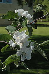Macintosh Apple (Malus 'Macintosh') at Oakland Nurseries Inc
