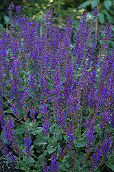 May Night Sage (Salvia x sylvestris 'May Night') at Oakland Nurseries Inc