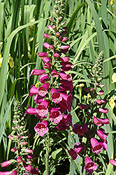 Camelot Rose Foxglove (Digitalis purpurea 'Camelot Rose') at Oakland Nurseries Inc